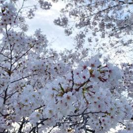モヤモヤとざわざわと笑いと桜